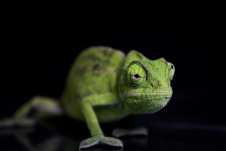 Indirect leren Leren door te camoufleren - by Thameur Dahmani - green-chameleon-on-black-surface-3779926