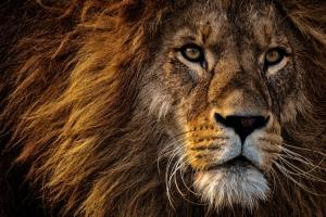 crisis-in-3-stappen-een-crisis-te-lijf-by-alexas-fotos-close-up-photo-of-lion-s-head-2220336